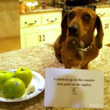 dogs-who-are-shamelessly-proud-of-what-they-just-did-34