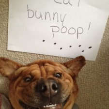 dogs-who-are-shamelessly-proud-of-what-they-just-did-35