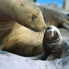14Mom-loving-on-her-baby-sealion_zpsa06ee200