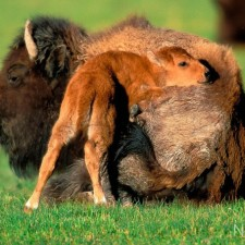 16Bison-Mother-and-Calf_zpsbb2ac118