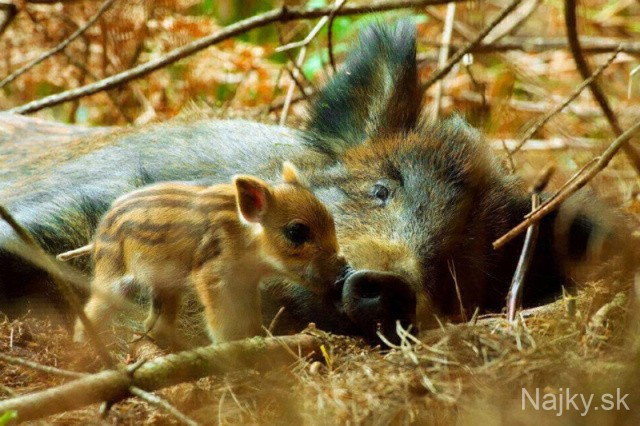 17Mom-and-baby-wildboar_zps9ae9a8ad