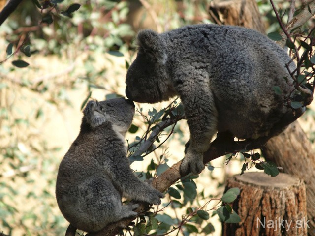 18Baby-koala-kissing-mom_zpsaaccbac3