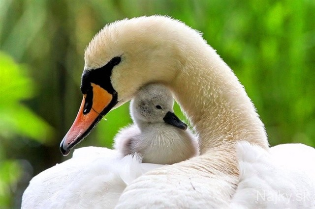 25Moma-swan-and-baby_zpsbfcf266a