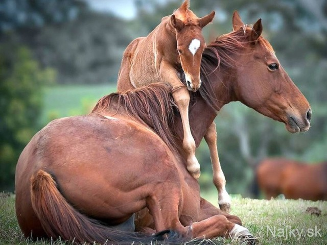 9Foal-urging-moma-horse-to-get-up-and-play_zpse6bef1f0