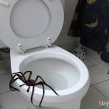 a98968_found-in-toilet_10-spider