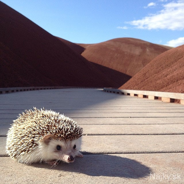 biddy-the-hedgehog-world-traveler-instagram-13_zpscc87a406