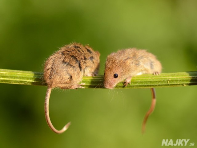 wild-mouse-photography-34