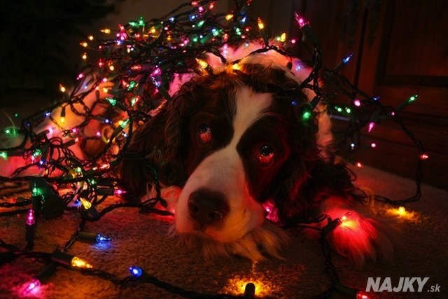 dog-christmas-fairy-lights-5.31532501