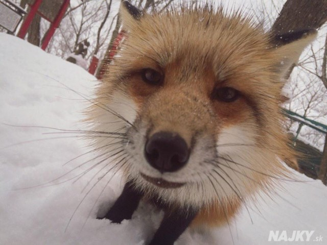 zao-fox-village-japan-13