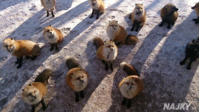 zao-fox-village-japan-14