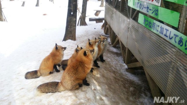 zao-fox-village-japan-22