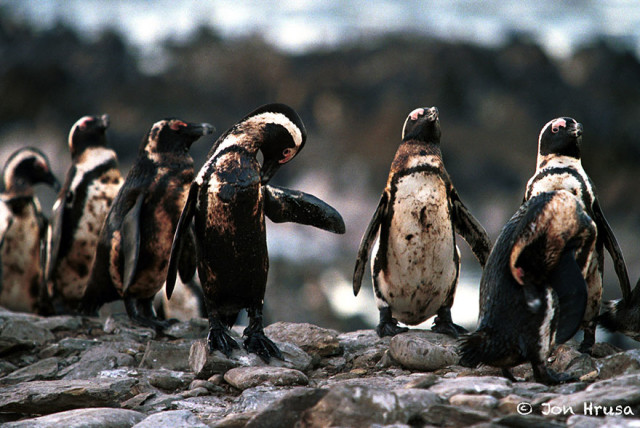 https://jonhrusa.wordpress.com/photo-stories/african-penguins/