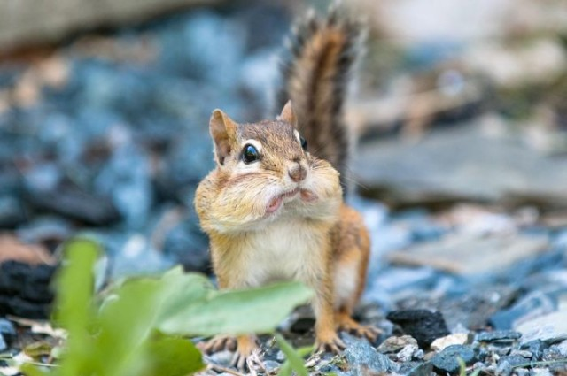 http://www.reddit.com/r/aww/comments/1g1wtg/snapped_a_photo_yesterday_of_a_surprised_chipmunk/