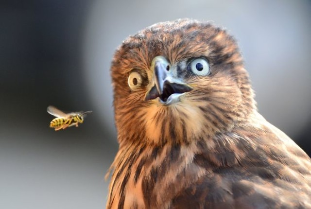http://www.reddit.com/r/photoshopbattles/comments/270gnm/bird_surprised_by_bee/