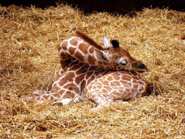 http://www.boredpanda.com/giraffes-shortest-sleeping-animal/