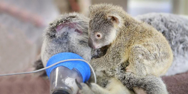 http://mashable.com/2015/06/09/koala-surgery-hug/
