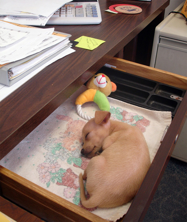 http://www.thatcutesite.com/office-desk-puppy-just-wants-to-sleep.html
