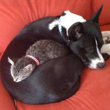 cats-and-dogs-getting-along-36__605