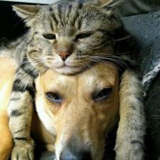 cats-and-dogs-getting-along-431__605