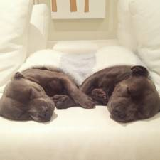 cute-dog-brothers-staffie-pit-bull-terriers-blueboys-12