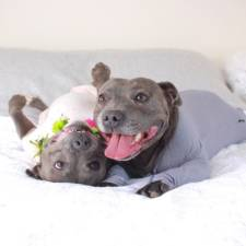 cute-dog-brothers-staffie-pit-bull-terriers-blueboys-39