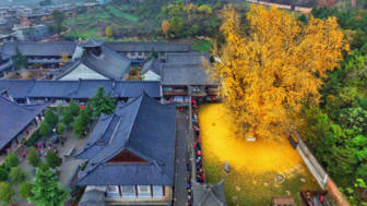 1400 old ginkgo tree yellow leaves buddhist temple china 2.jpg