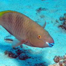 Initial phase Rusty Parrotfish