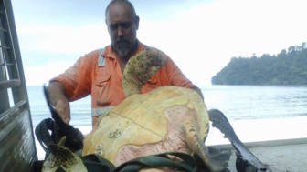 Man saves sea turtles arron culling papua new guinea 51.jpg