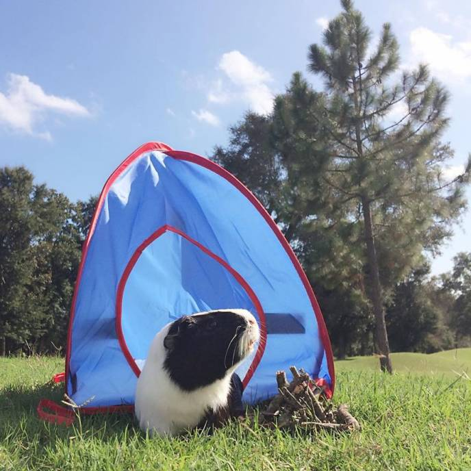 When a guinea pig is way more photogenic than its owner 2__880.jpg