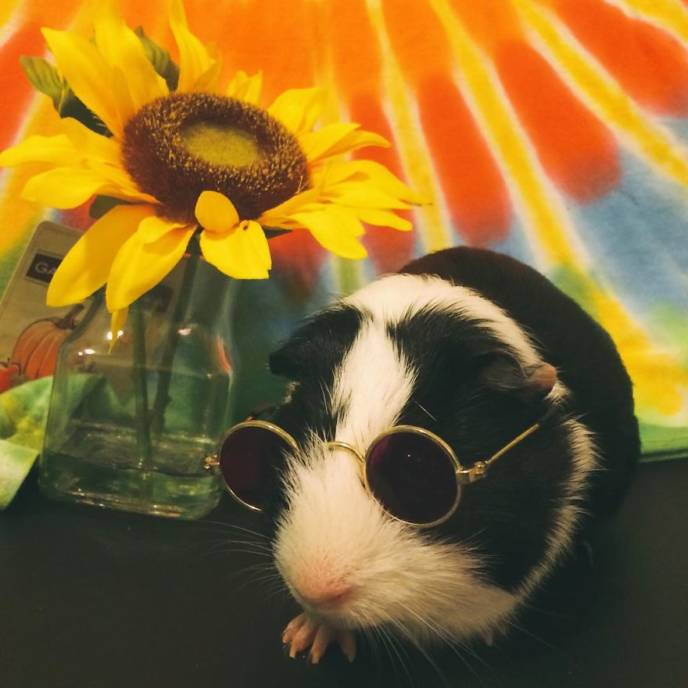 When a guinea pig is way more photogenic than its owner__880.jpg
