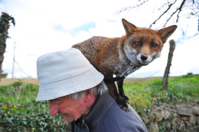 Pet foxes rescue patsy gibbons ireland 25.jpg