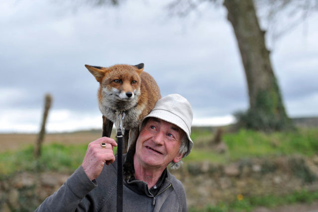Pet foxes rescue patsy gibbons ireland 5.jpg