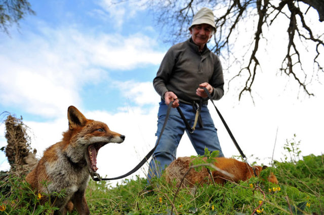 Pet foxes rescue patsy gibbons ireland 8.jpg