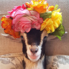 Rescue goat duck costume goats of anarchy polly leanne lauricella 13.jpg