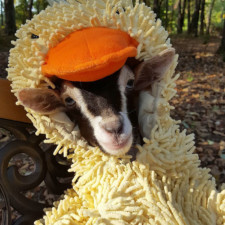 Rescue goat duck costume goats of anarchy polly leanne lauricella 16.jpg