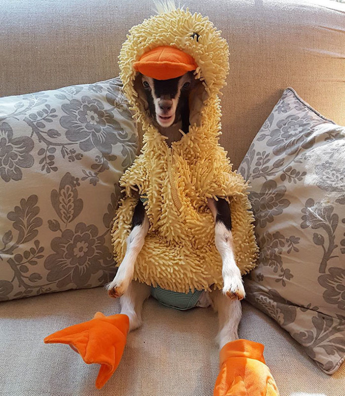 Rescue goat duck costume goats of anarchy polly leanne lauricella 17.jpg