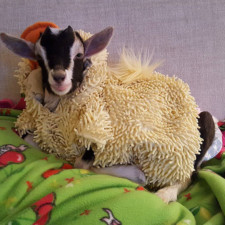 Rescue goat duck costume goats of anarchy polly leanne lauricella 9.jpg