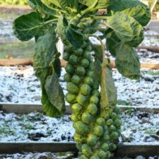 Brusselsprouts1 768x1024 664x885.jpg