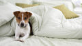 Jack Russell Lying Under a Duvet on a Bed