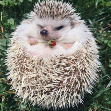 Cute hedgehogs 89 58933515de0ad__700.jpg