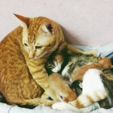 Father cat supports mom cat giving birth wins everyones hearts 58afed663e192__700.jpg
