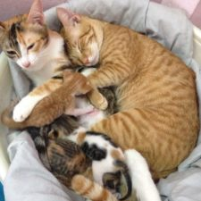 Father cat supports mom cat giving birth wins everyones hearts 58b00f5fd6ade__700.jpg