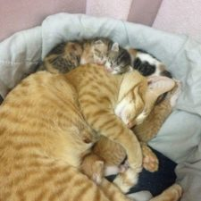 Father cat supports mom cat giving birth wins everyones hearts 58b00f64dad7e__700.jpg
