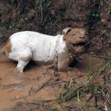 Dirty dogs playing in mud 100 5914578f367ad__700.jpg