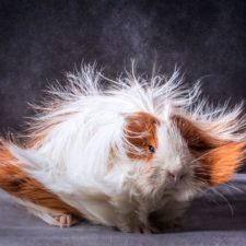 Long haired guinea pigs 58fde510832e5__700.jpg