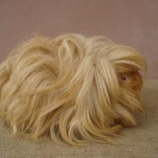 Long haired guinea pigs 58fde79de34d3__700.jpg