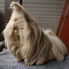 Long haired guinea pigs 58fded24592b6__700.jpg