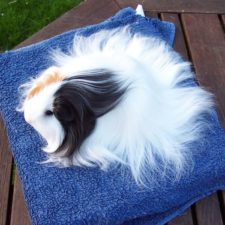 Long haired guinea pigs 58fdee11b80a5__700.jpg