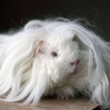 Long haired guinea pigs 591070afac4f4__700.jpg