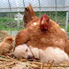 Hens adopt animals 5979b483663b9__700.jpg